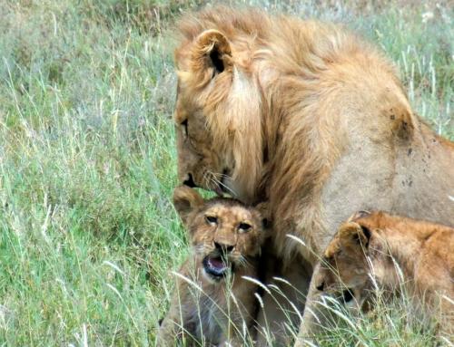 Sötchock på safari