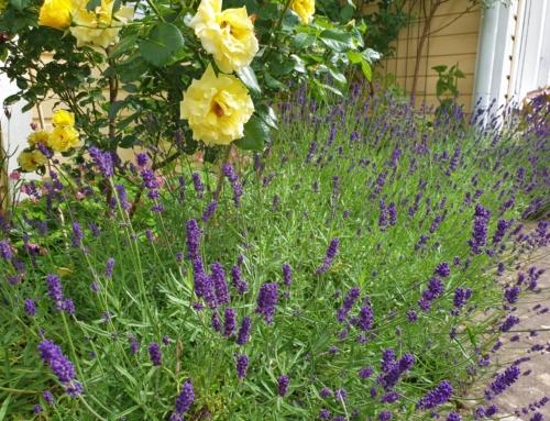 Ett år med min trädgård – juli