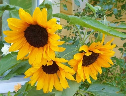 Ett år med min trädgård – augusti